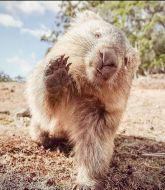 MMA MHandicapper - Wombat MMA